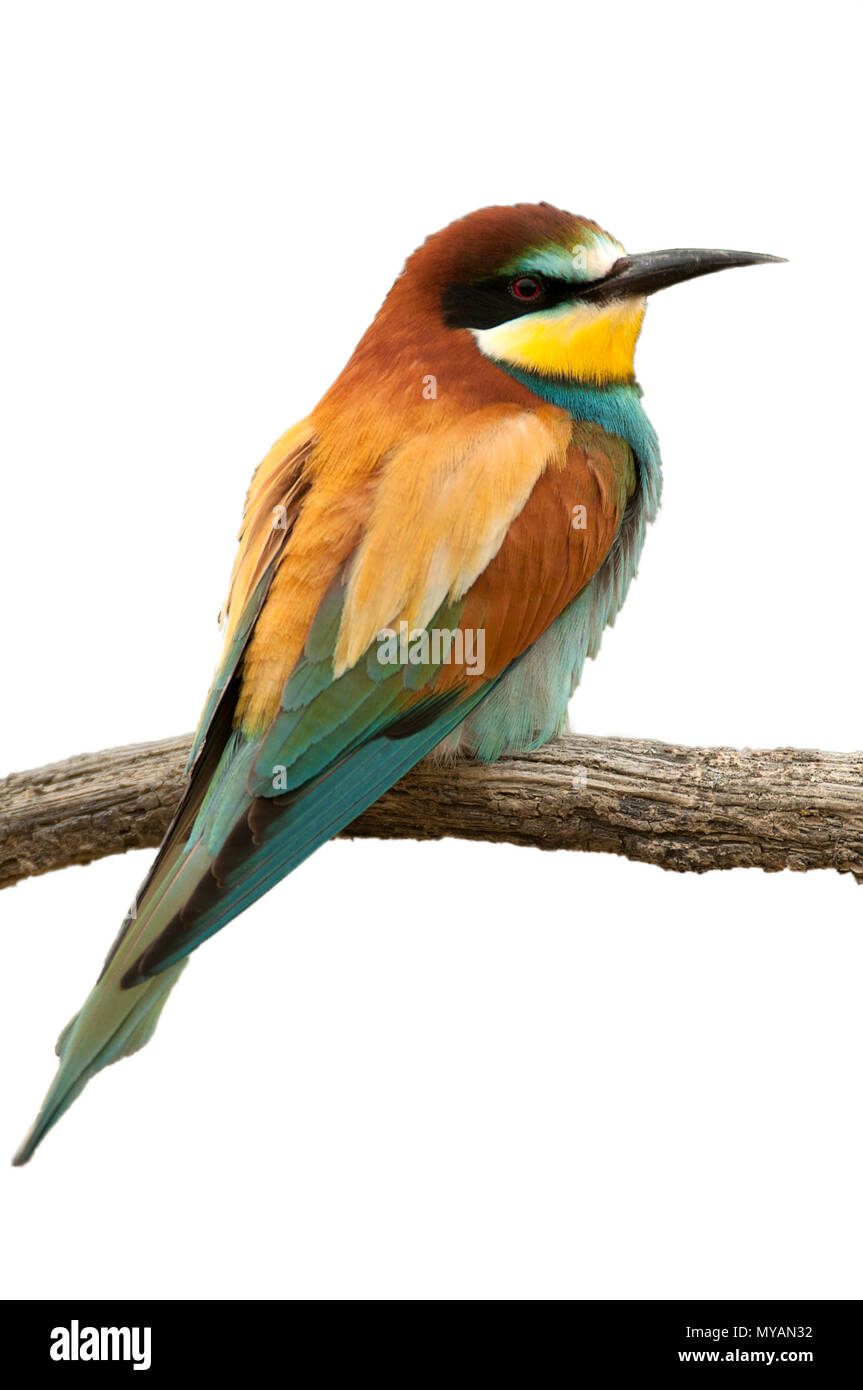 European bee-eater (Merops apiaster), Perched on a branch, with white background - Stock Image