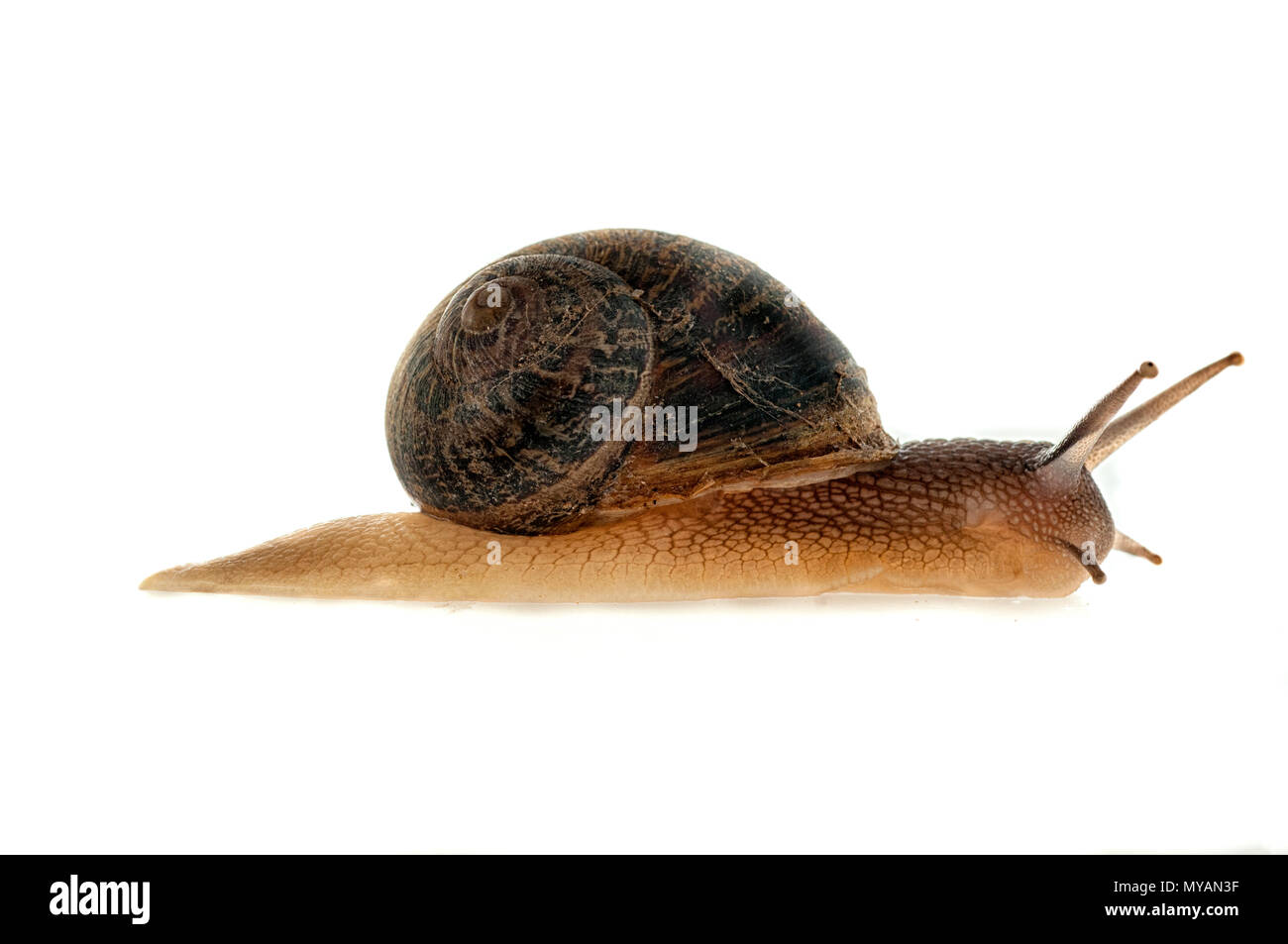 Garden snail (Helix aspersa) With white background - Stock Image