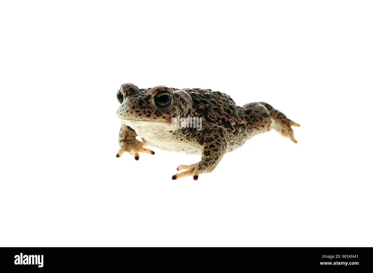 Natterjack toad (Epidalea calamita) with White background - Stock Image