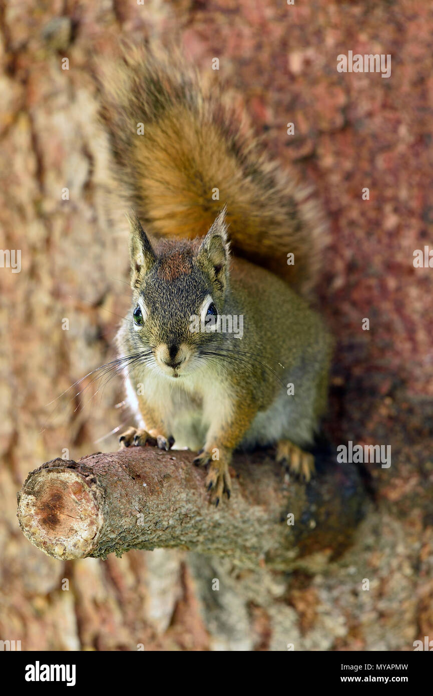 A vertical image of a young red squirrel 'Tamiasciurus hudsonicus';sitting on a cut off tree branch looking forward with his tail over his back. - Stock Image