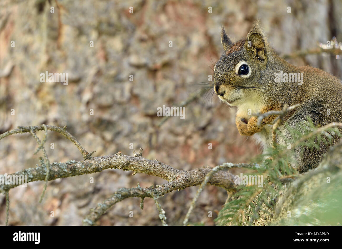A horizontal view of a young red squirrel  ( Tamiasciurus hudsonicus); sitting on a tree branch at the edge of the image looking forward in rural Albe - Stock Image
