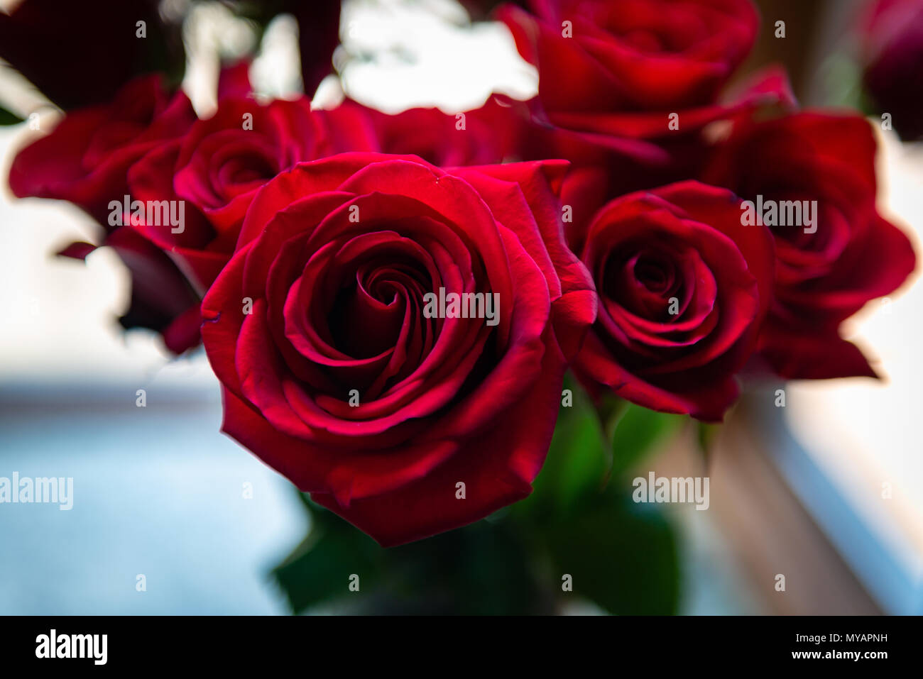 Rose flowers valentines red marriage anniversary birthday stock red roses amazing light anniversary roses in bay window closeup valentines wedding izmirmasajfo