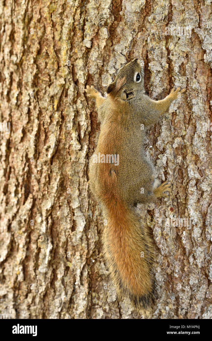 A vertical image of a young red squirrel 'Tamiasciurus hudsonicus'; climbing a spruce tree trunk near Hinton Alberta Canada - Stock Image