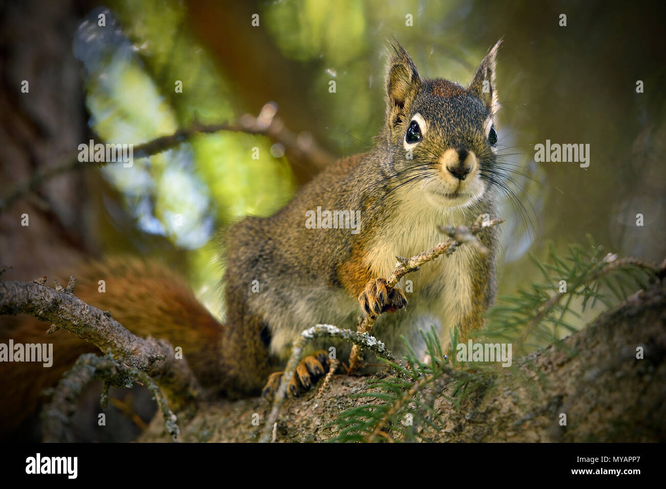 A close up image of a red squirrel 'Tamiasciurus hudsonicus'; sitting high in his tree looking down - Stock Image