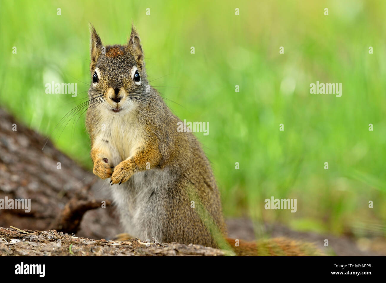 A horizontal image of a wild red squirrel  'Tamiasciurus hudsonicus'; on a tree trunk with a cute expression on his face, near Hinton Alberta. - Stock Image