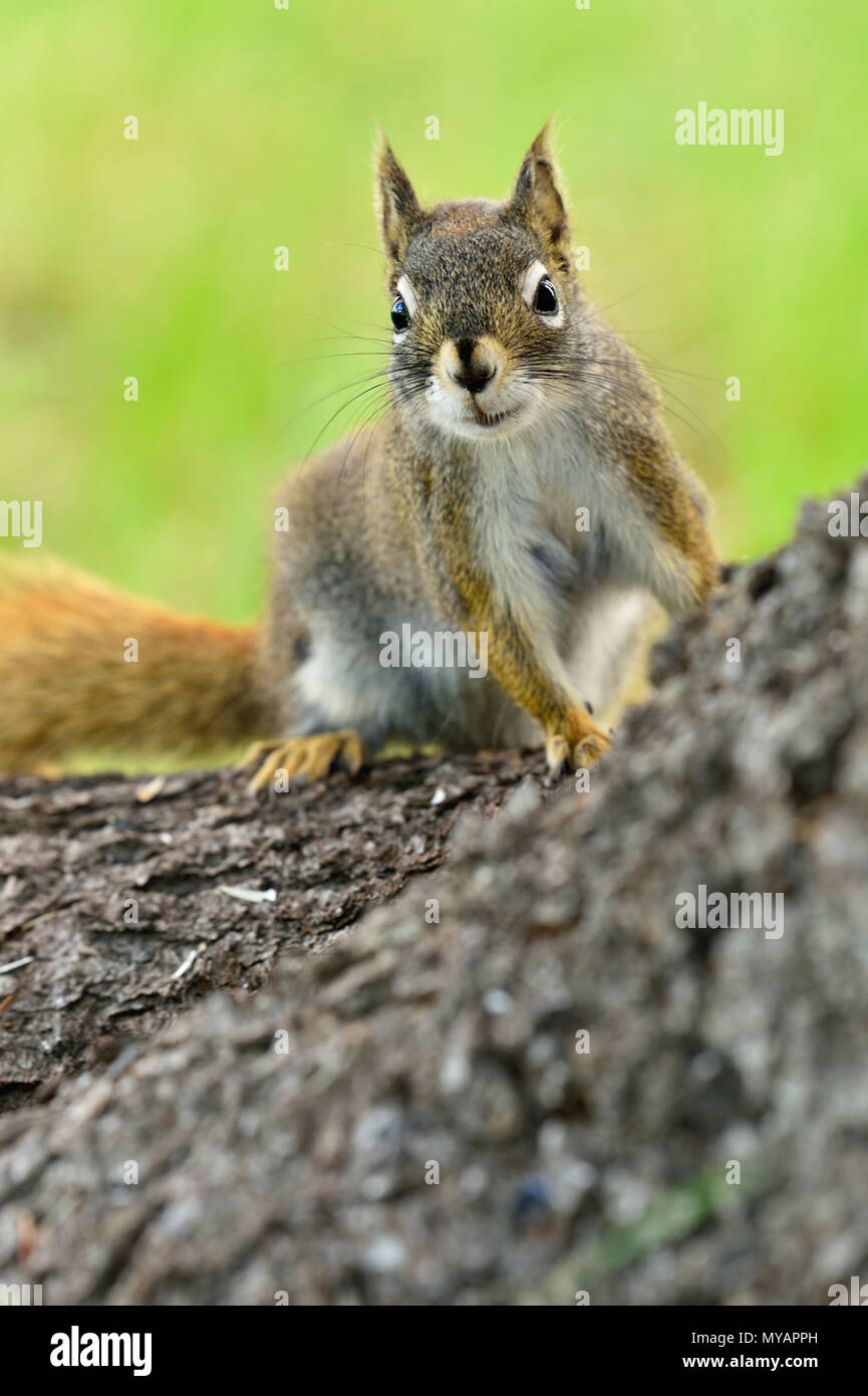 A vertical image of a wild red squirrel  'Tamiasciurus hudsonicus'; on a tree trunk with a cute expression on his face, near Hinton Alberta. - Stock Image
