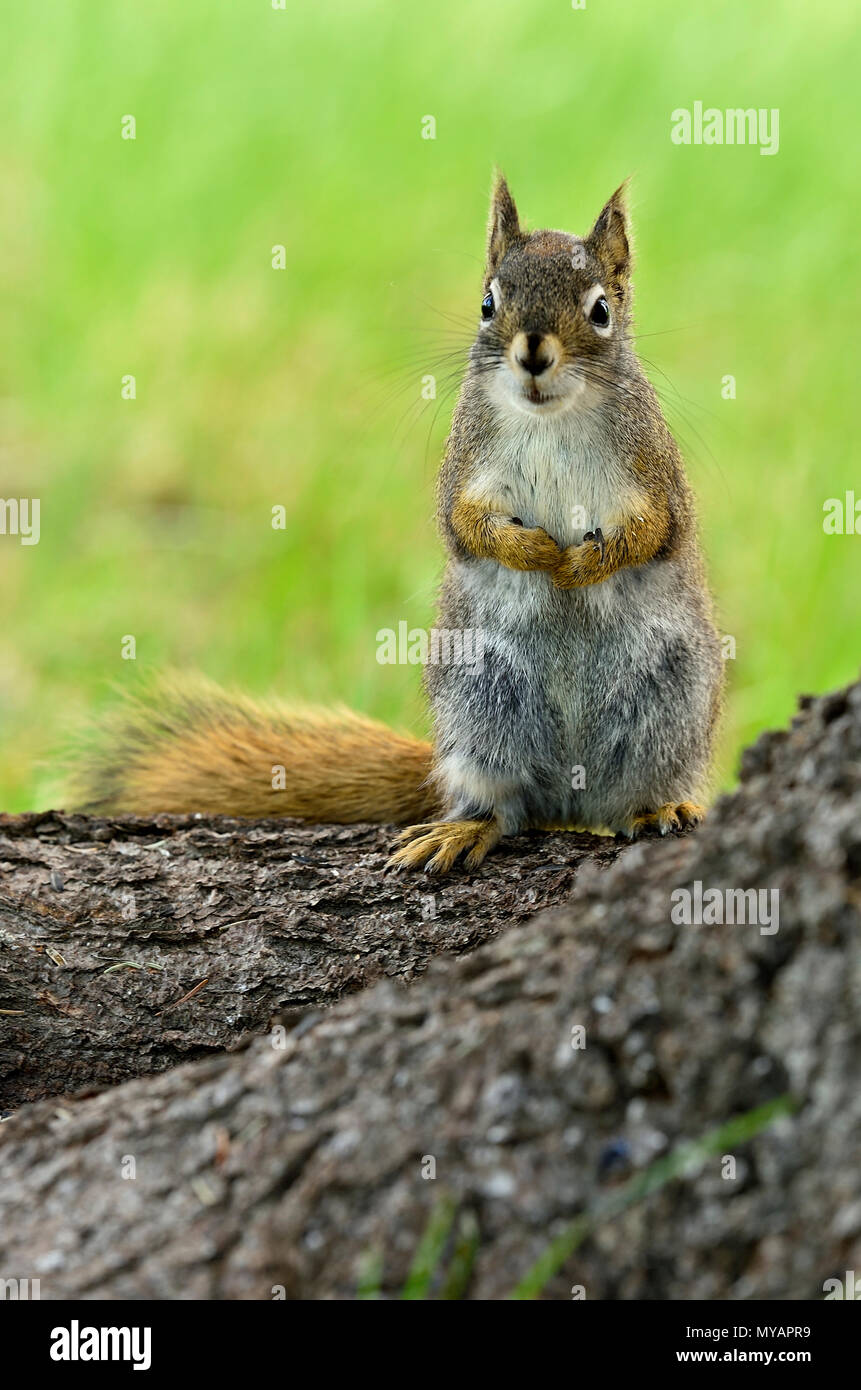 A vertical image of a wild red squirrel  'Tamiasciurus hudsonicus'; standing on a tree trunk with a cute expression on his face, near Hinton Alberta. - Stock Image