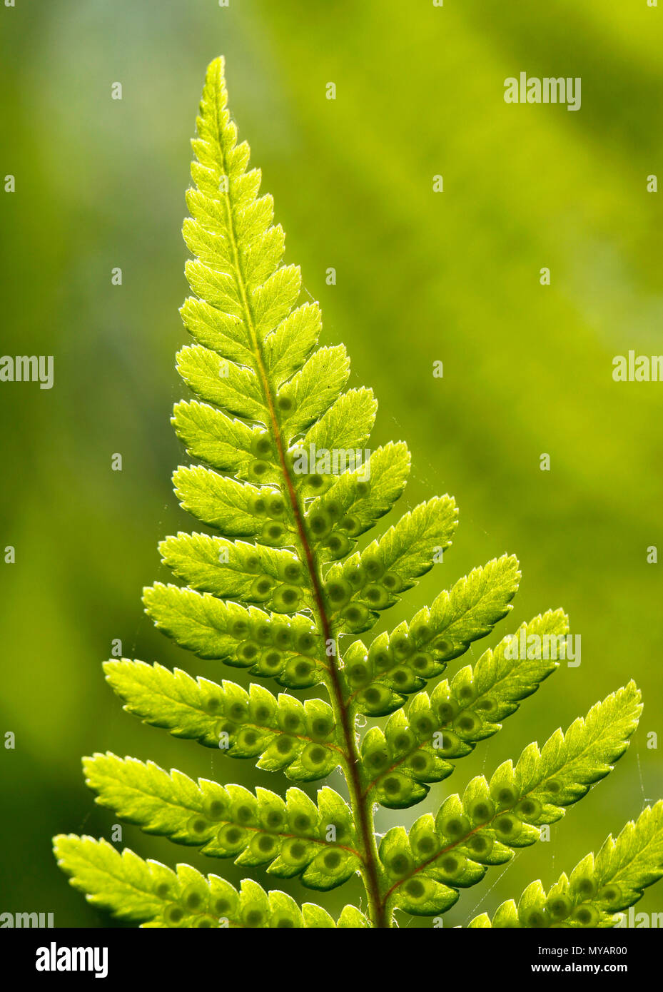 Divided leaf of the ostrich fern, Matteuccia struthiopteris, with developing spores. - Stock Image