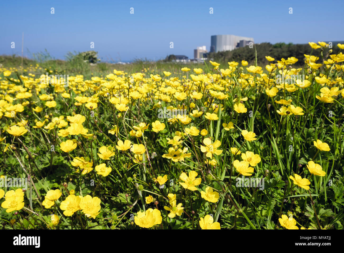 Yellow flowering Buttercups growing wild in countryside near Wylfa Nuclear Power Station. Cemaes, Isle of Anglesey, Wales, UK, Britain - Stock Image
