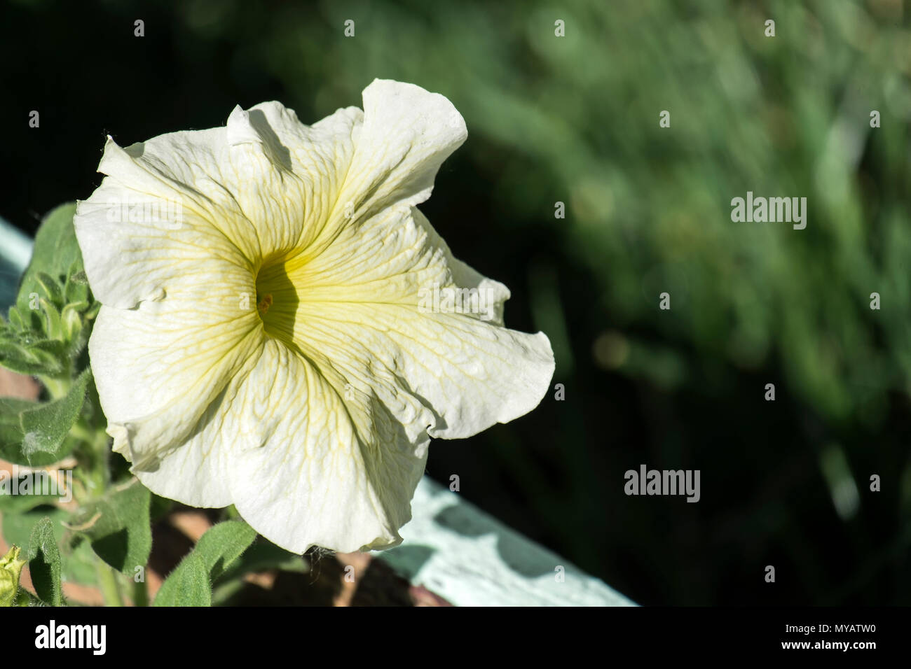 Large Milky White Petunia Flower With Yellow Streaks Petunia