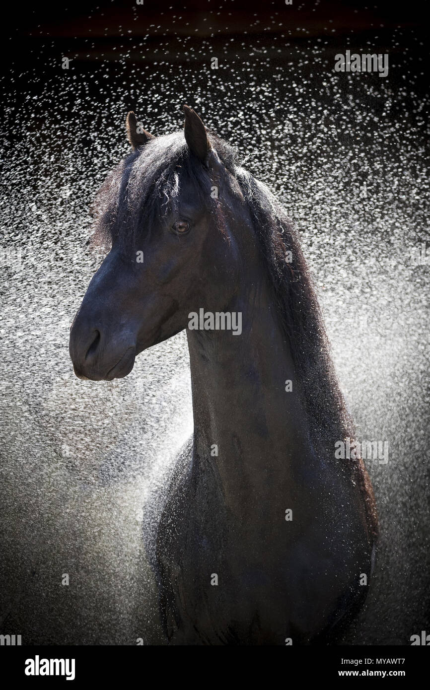 Paso Fino. Portrait of black stallion during hosing. Germany - Stock Image