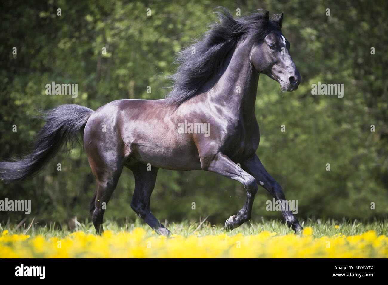 Paso Fino. Black stallion galloping on a meadow. Germany - Stock Image