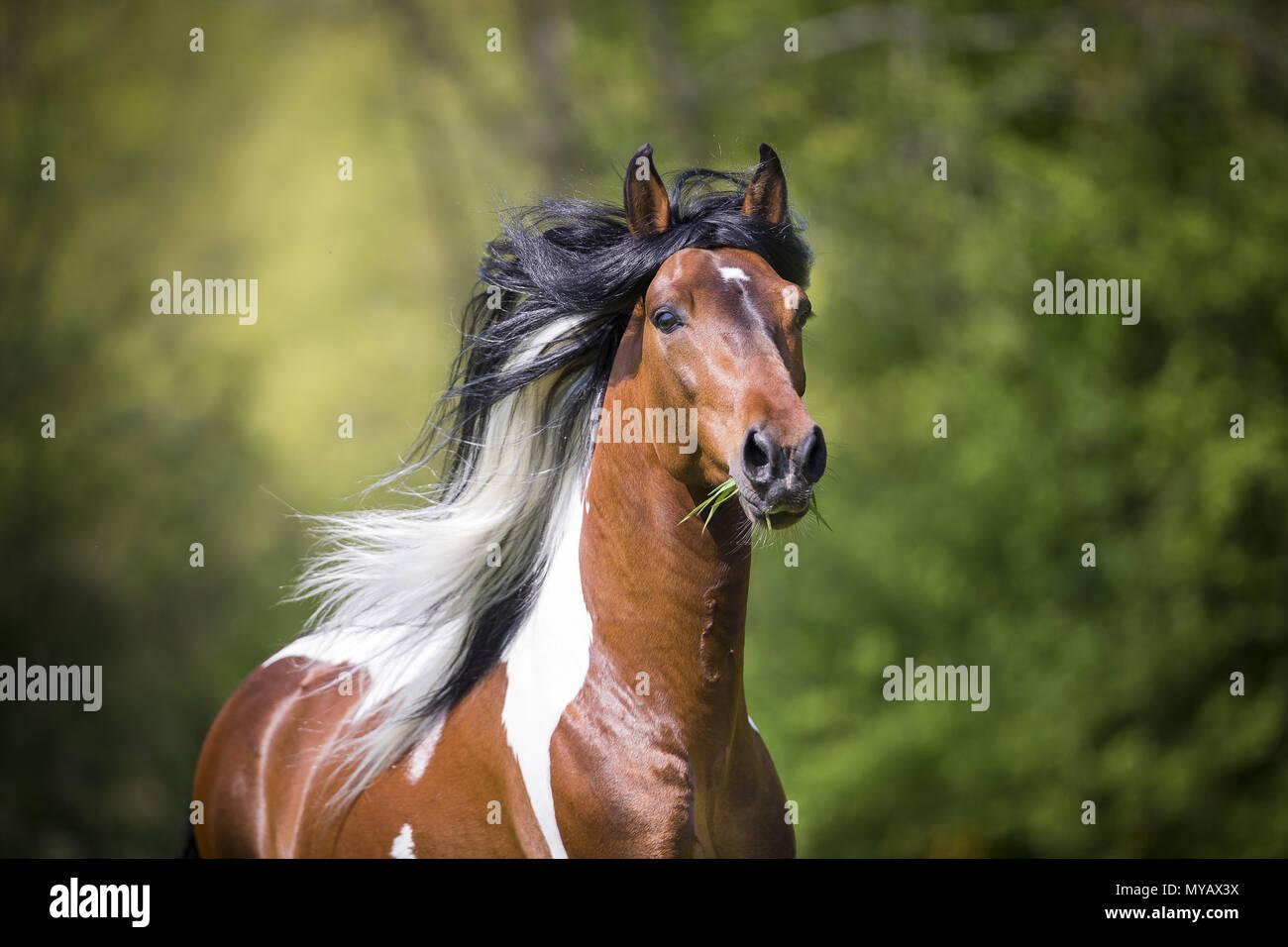 Paso Fino. Portrait of skewbald stallion. Germany - Stock Image