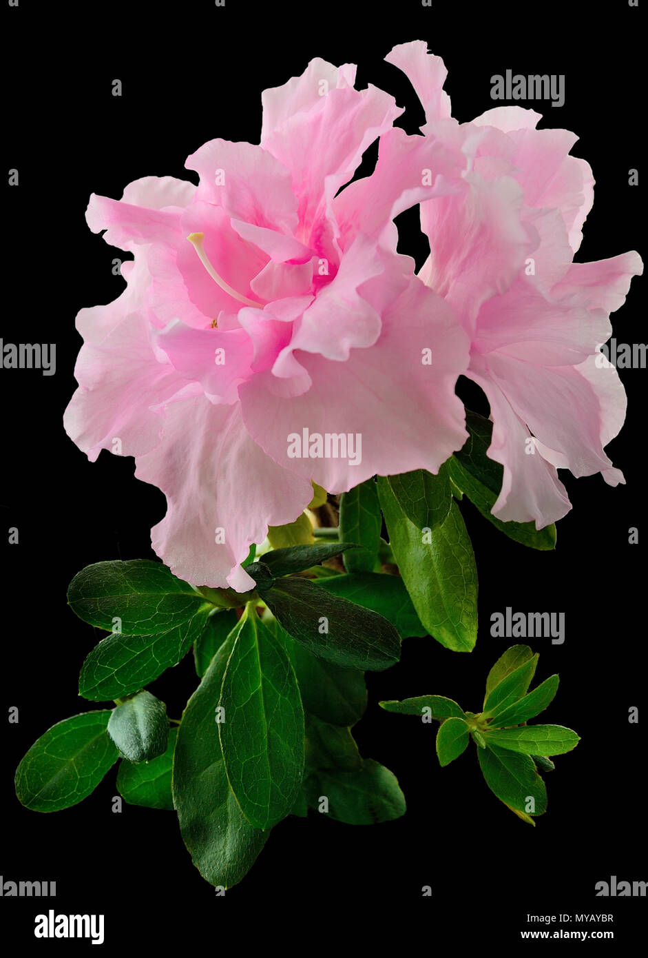 Delicate Light Pink Azalea Flowers Rhododendron With Leaves Close