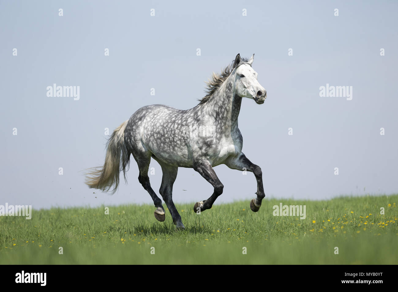 Hanoverian Horse. Dappled gray mare galloping on a meadow. Germany - Stock Image