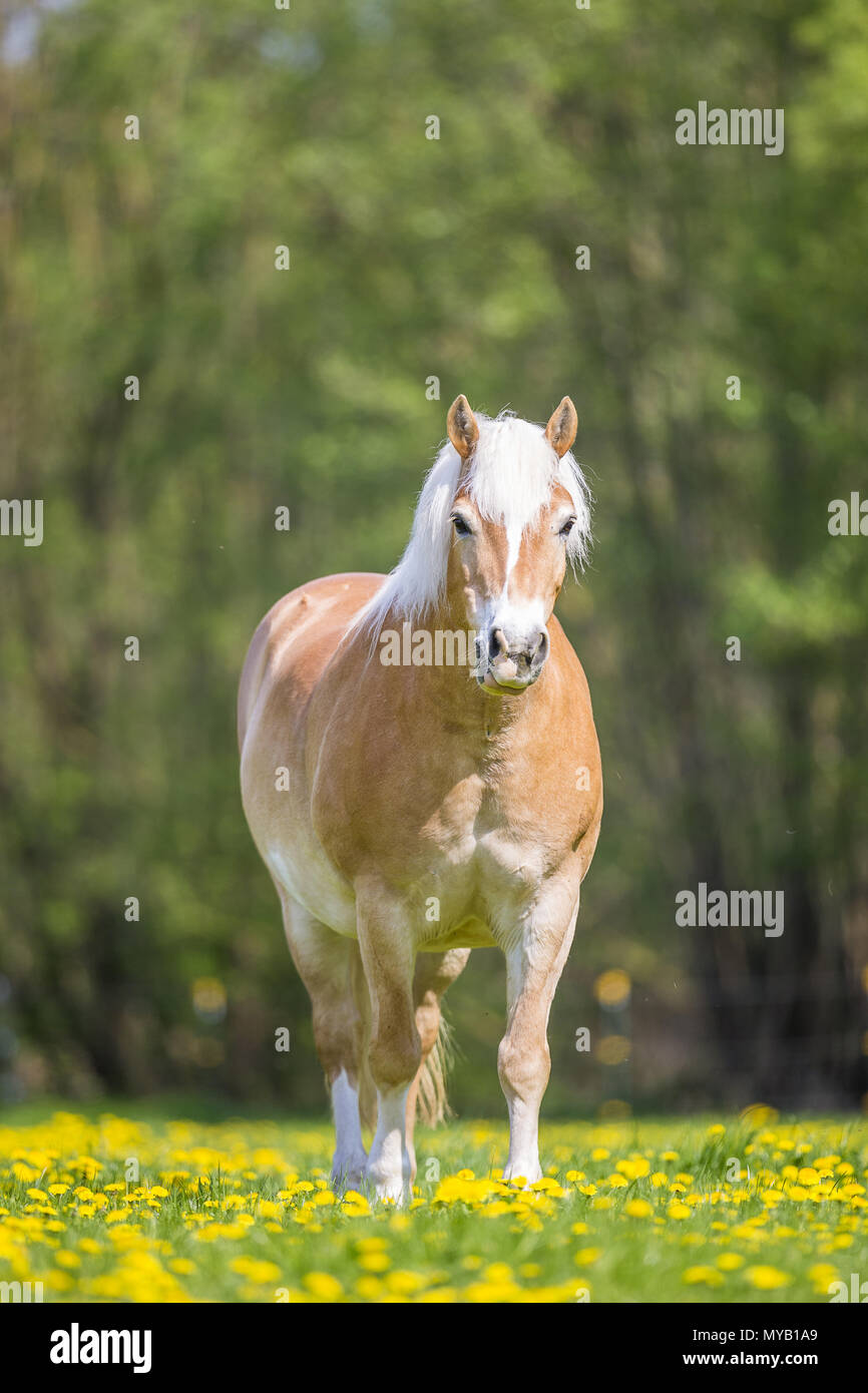 Haflinger Horse. Overweight gelding standing on a pasture in spring. Germany - Stock Image