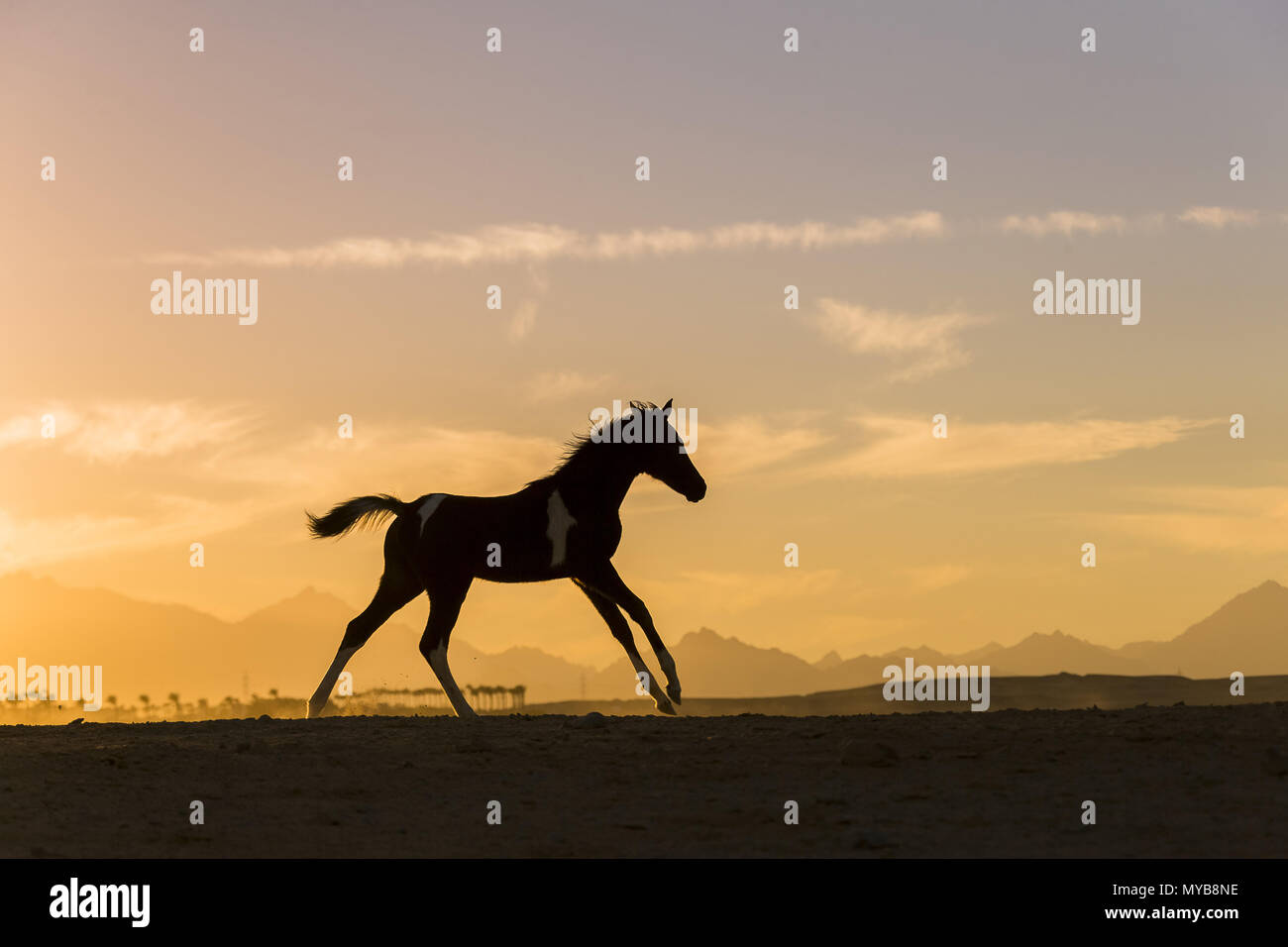 Pinto Paint Horse Filly Foal At Sunset Galloping In The Desert Egypt Stock Photo Alamy