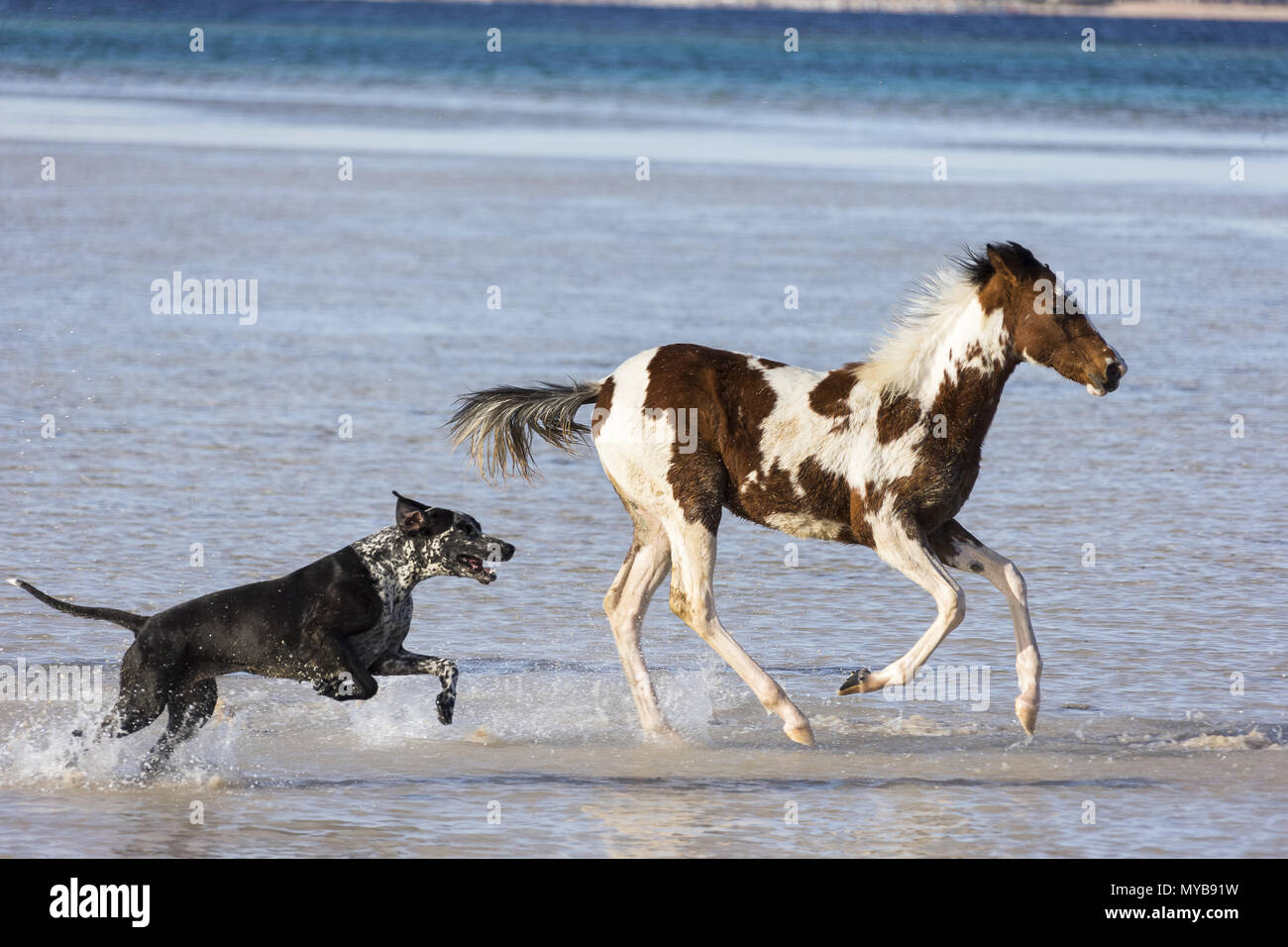 Pinto. Foal galloping in shallow water, followed by a dog. Egypt. Stock Photo