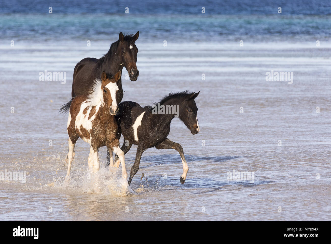 Barb horse. Bay horse and Pinto foals walking in shallow water. Egypt. - Stock Image