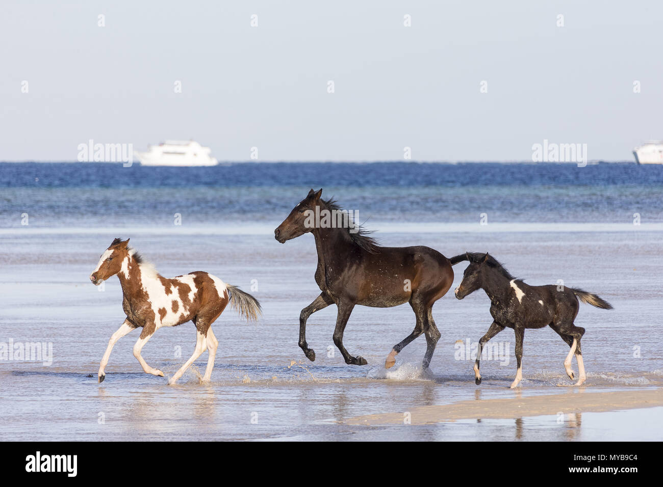 Barb horse. Bay horse and Pinto foals galloping in shallow water. Egypt. - Stock Image