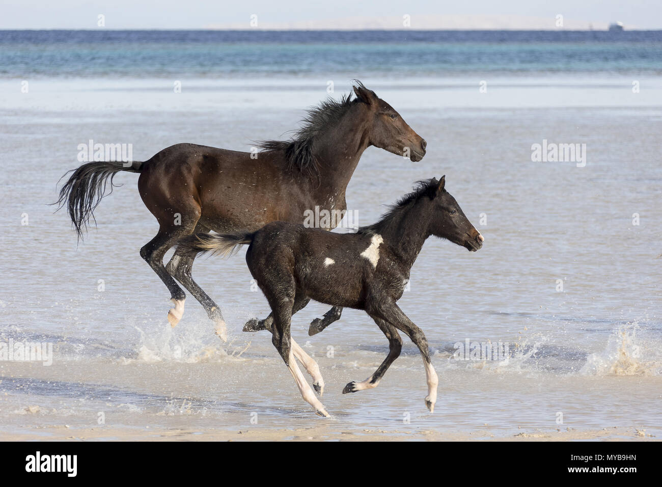 Barb horse. Bay horse and Pinto foal galloping in shallow water. Egypt. - Stock Image