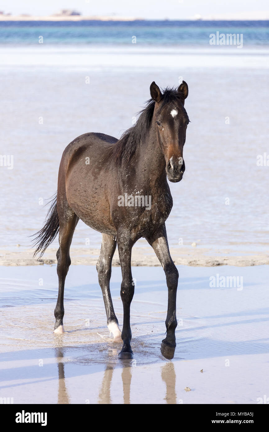 Barb horse. Bay horse walking in shallow water. Egypt. - Stock Image