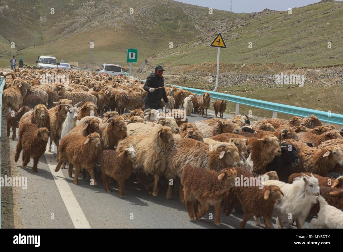 Kazakh nomads rounding up their sheep, Keketuohai, Xinjiang, China - Stock Image