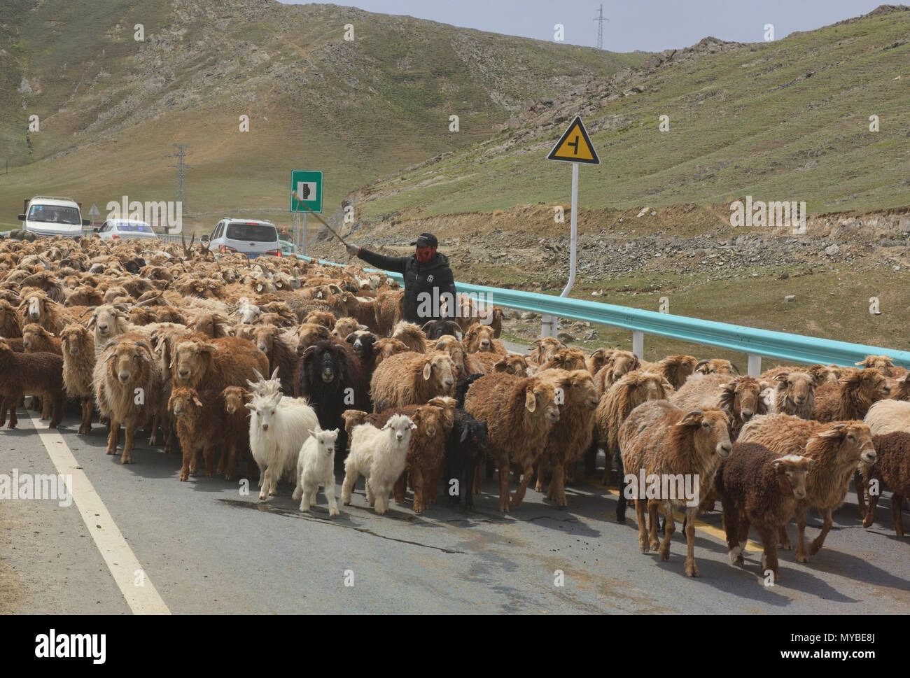 Kazakh nomads rounding up their sheep, Keketuohai, Xinjiang, China - Stock Image