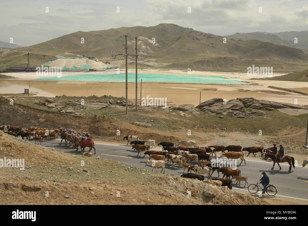 Kazakh nomads rounding up their cattle, Keketuohai, Xinjiang, China - Stock Image