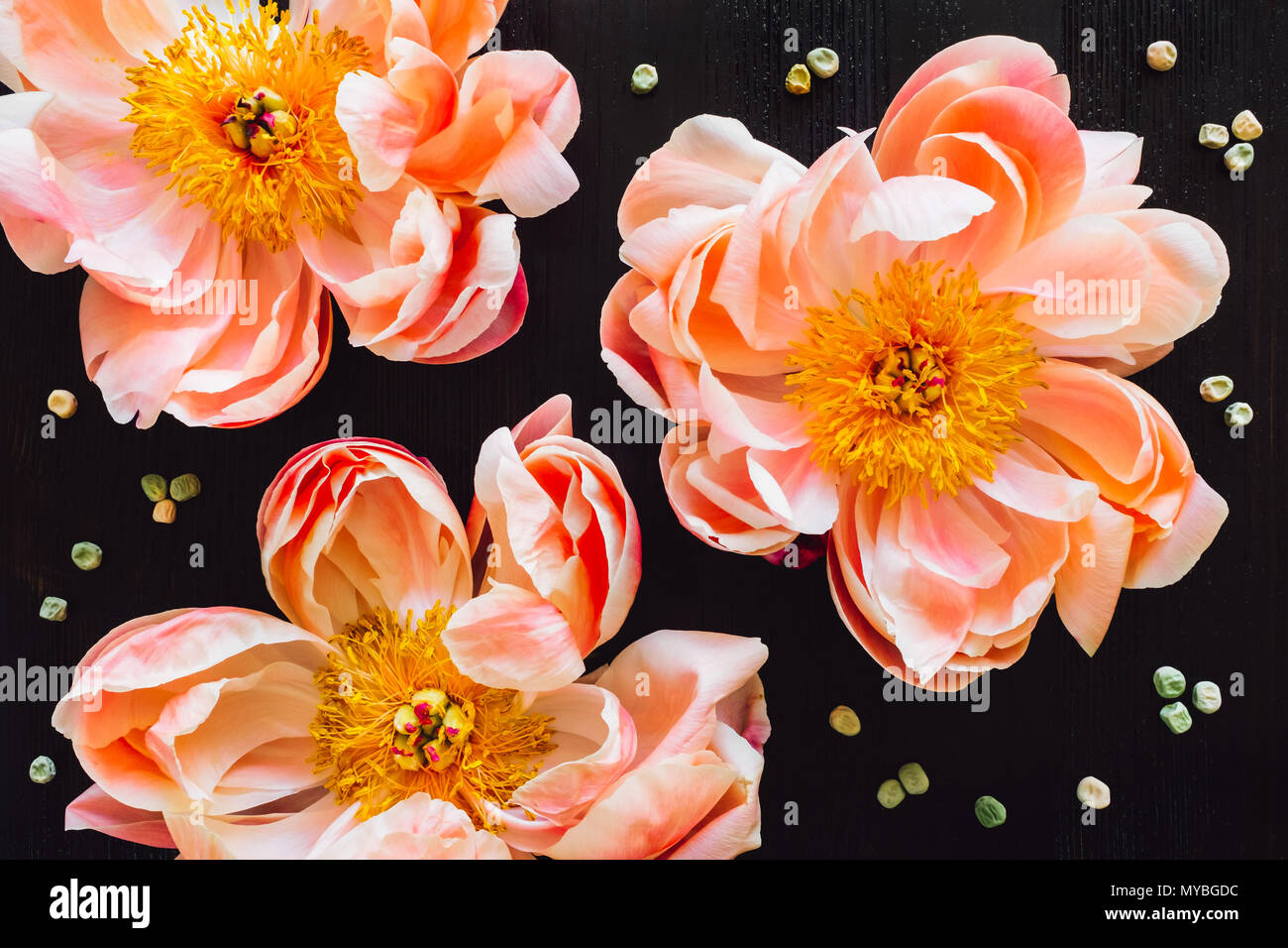 Three Peach Peonies on Dark Table Stock Photo