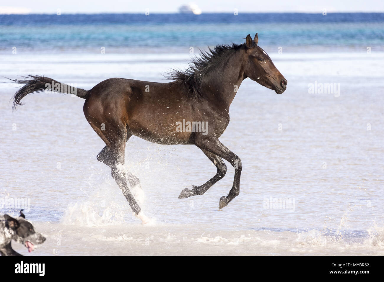 Barb horse. Bay horse galloping in shallow water. Egypt. - Stock Image