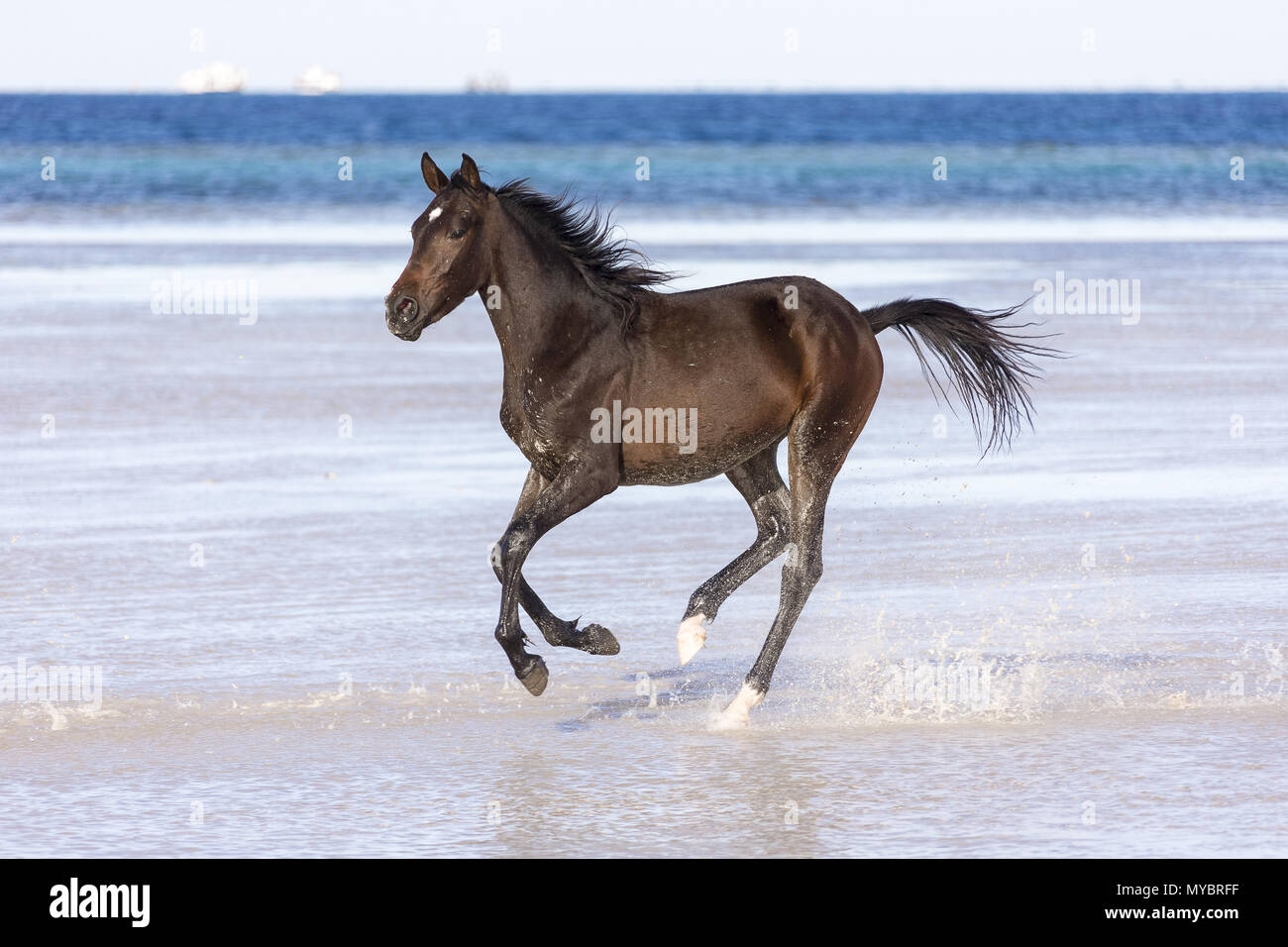 Barb horse. Bay horse galloping in shallow water. Egypt. Stock Photo