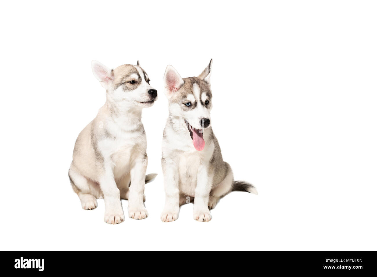 Two cute little husky puppies isolated on white background - Stock Image