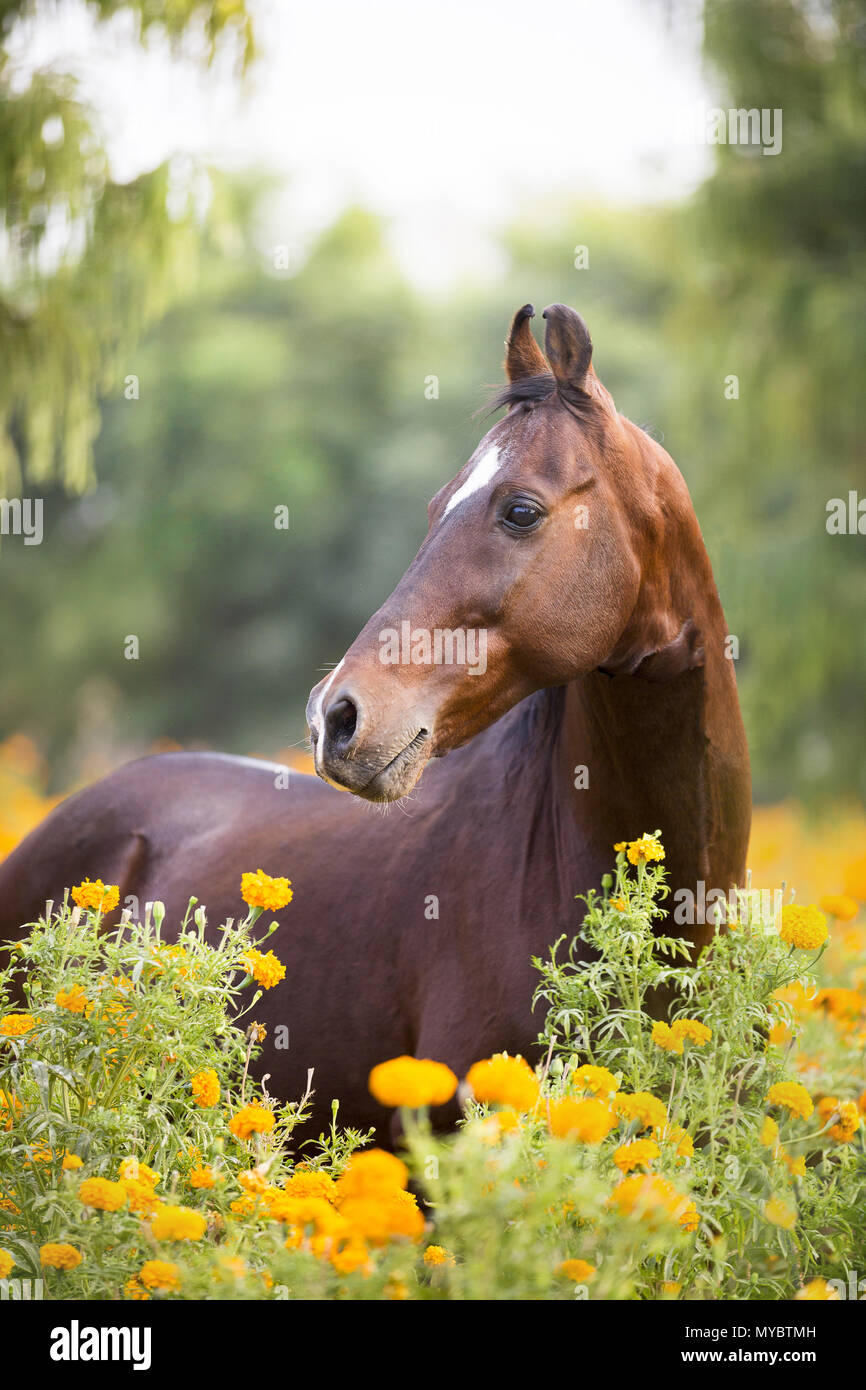 Marwari Horse. Portrait of bay stallion. India - Stock Image
