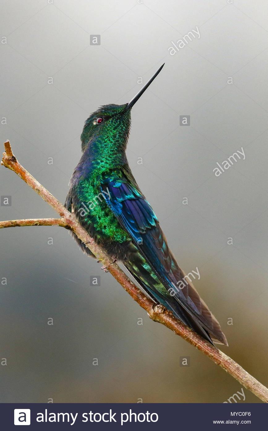 A Great Sapphirewing hummingbird, Pterophanes cyanopterus. - Stock Image
