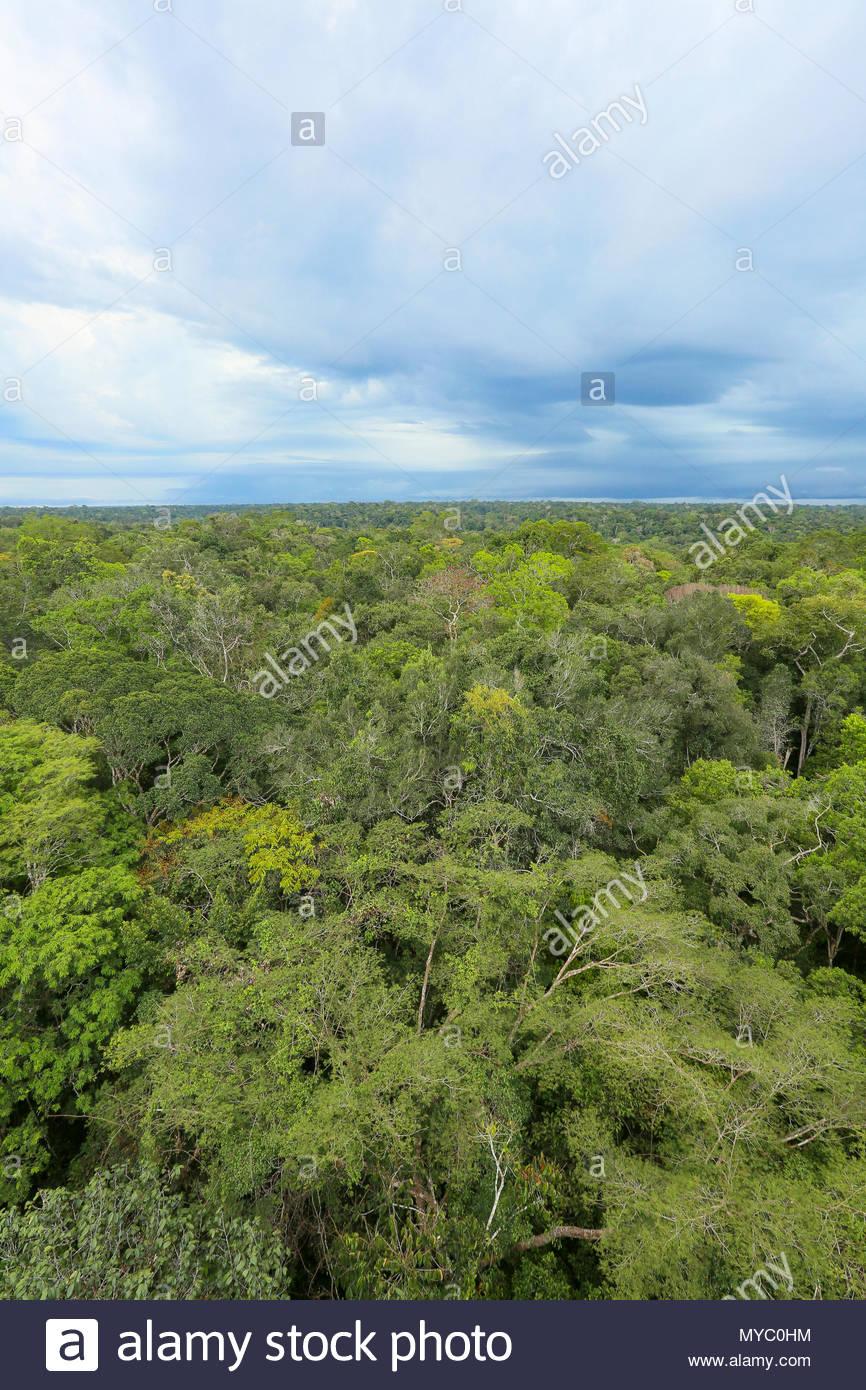 Amazon basin lowland rainforest near Manaus, Brazil. - Stock Image
