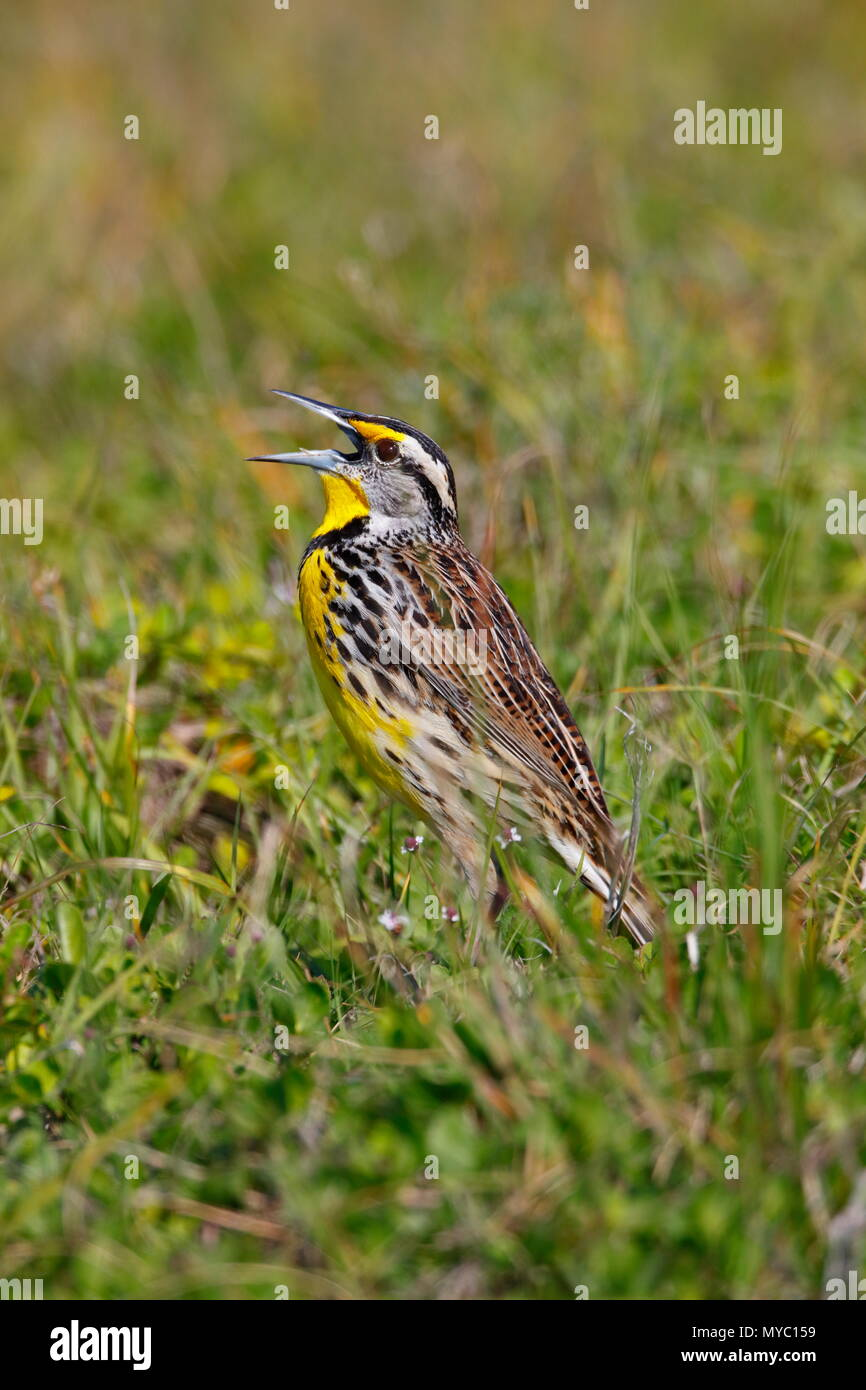 An Eastern meadowlark, Sturnella magna, sings a territorial song. - Stock Image