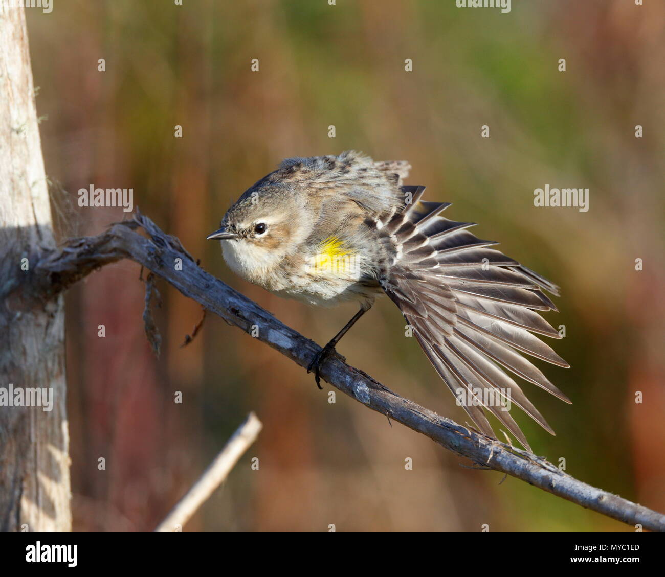 A yellow-rumped warbler, Setophaga coronata, forages for insects. - Stock Image