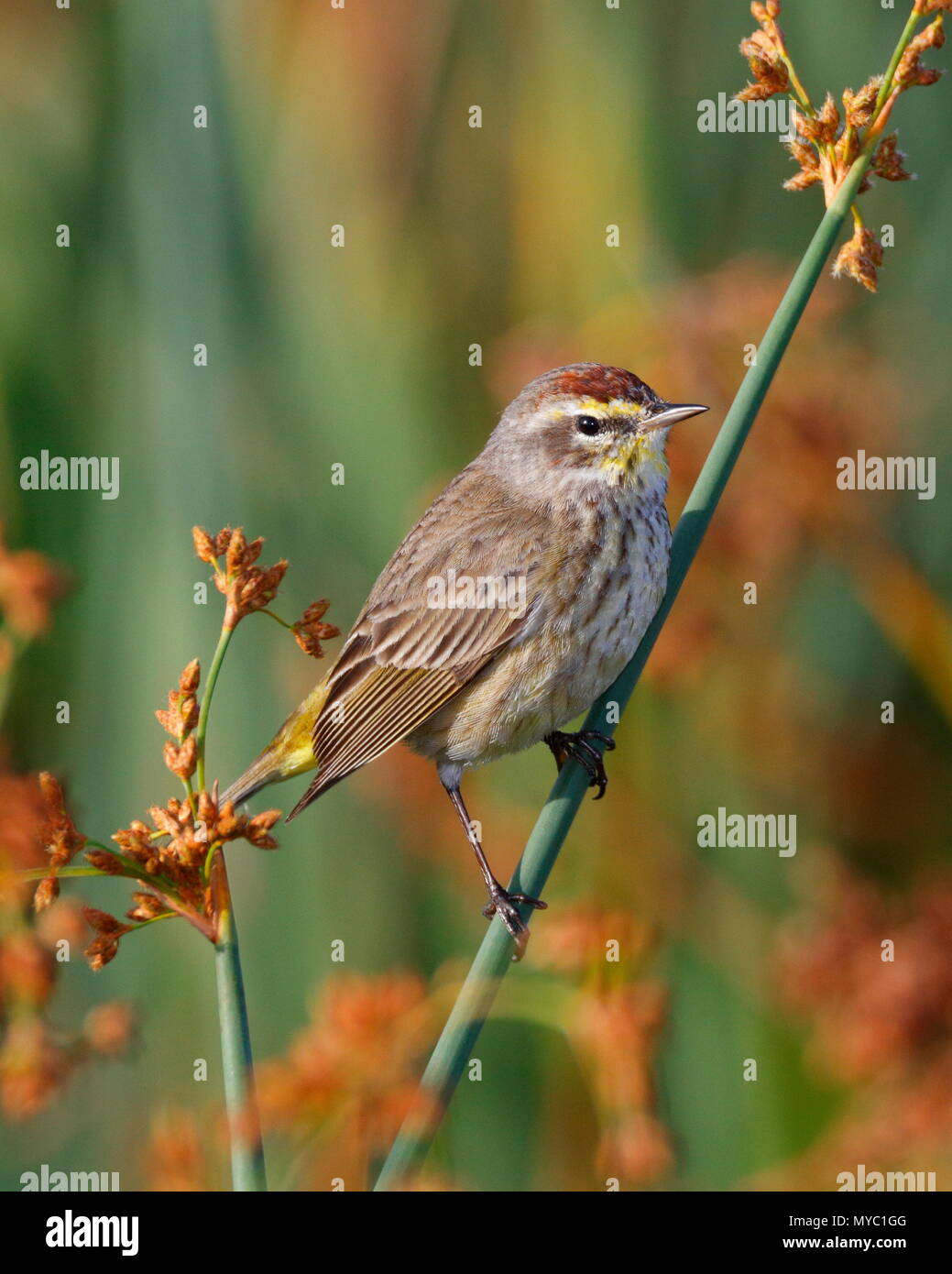 A wintering palm warbler, Setophaga palmarum, perches on grass. - Stock Image