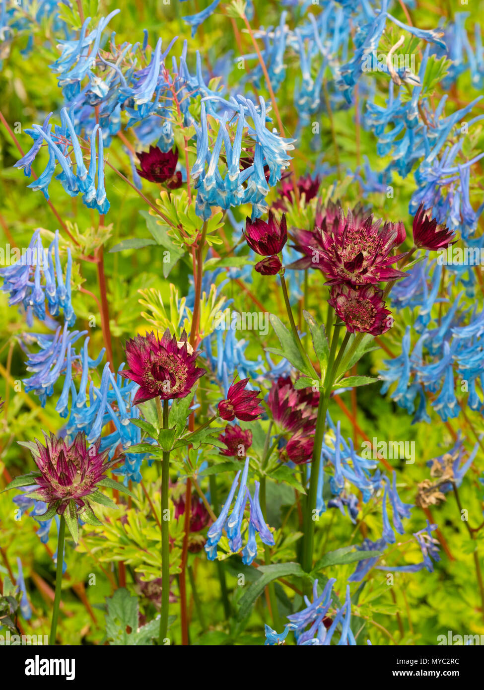 Blue flowered Corydalis elata x flexuosa 'Tory MP' mingles with red flowered Astrantia major 'Moulin Rouge' in an early summer planting combination - Stock Image