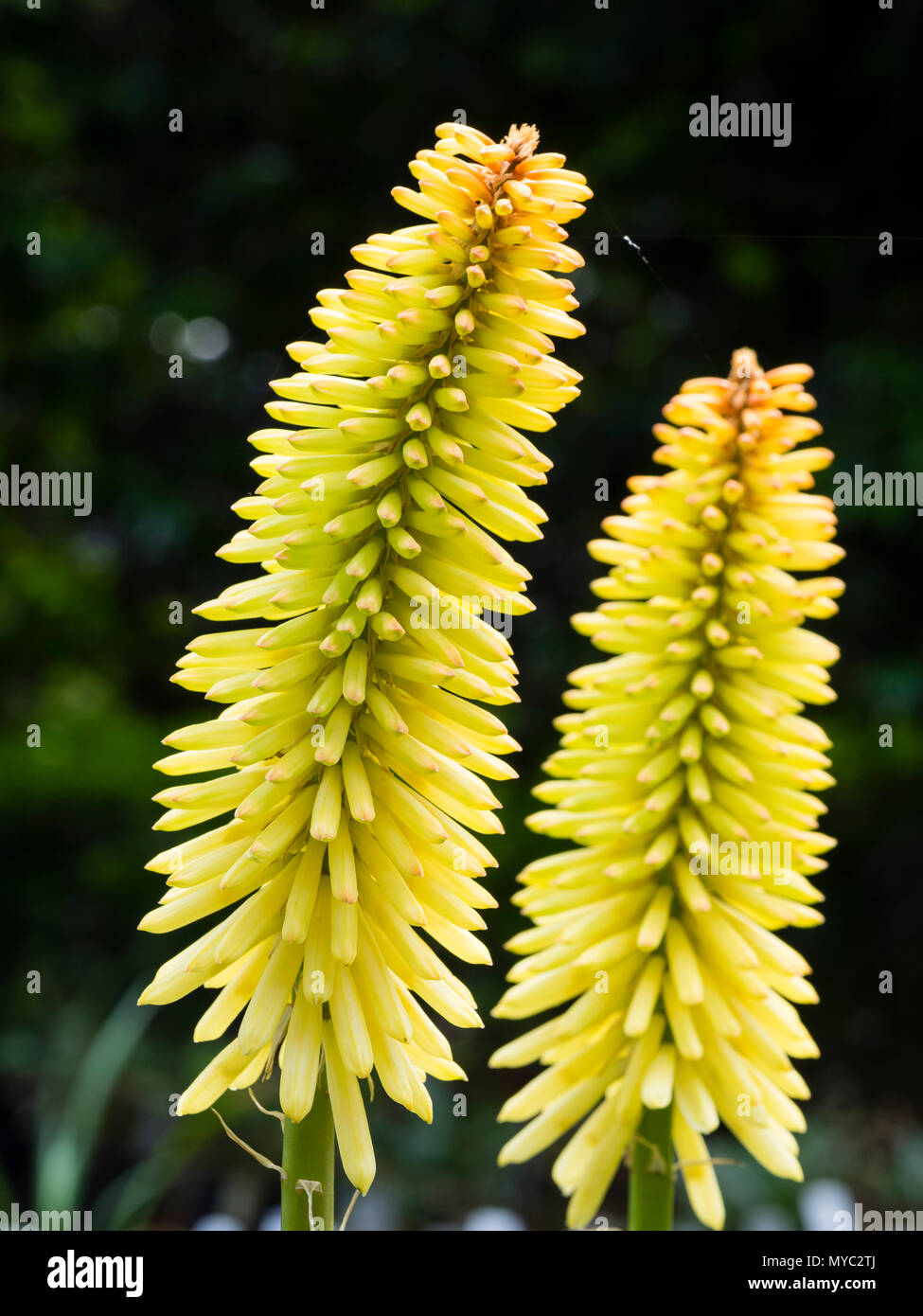 Large,developing spike with greenish yellow flower buds of the upright, summer flowering torch lily, Kniphofia 'Moonstone' - Stock Image