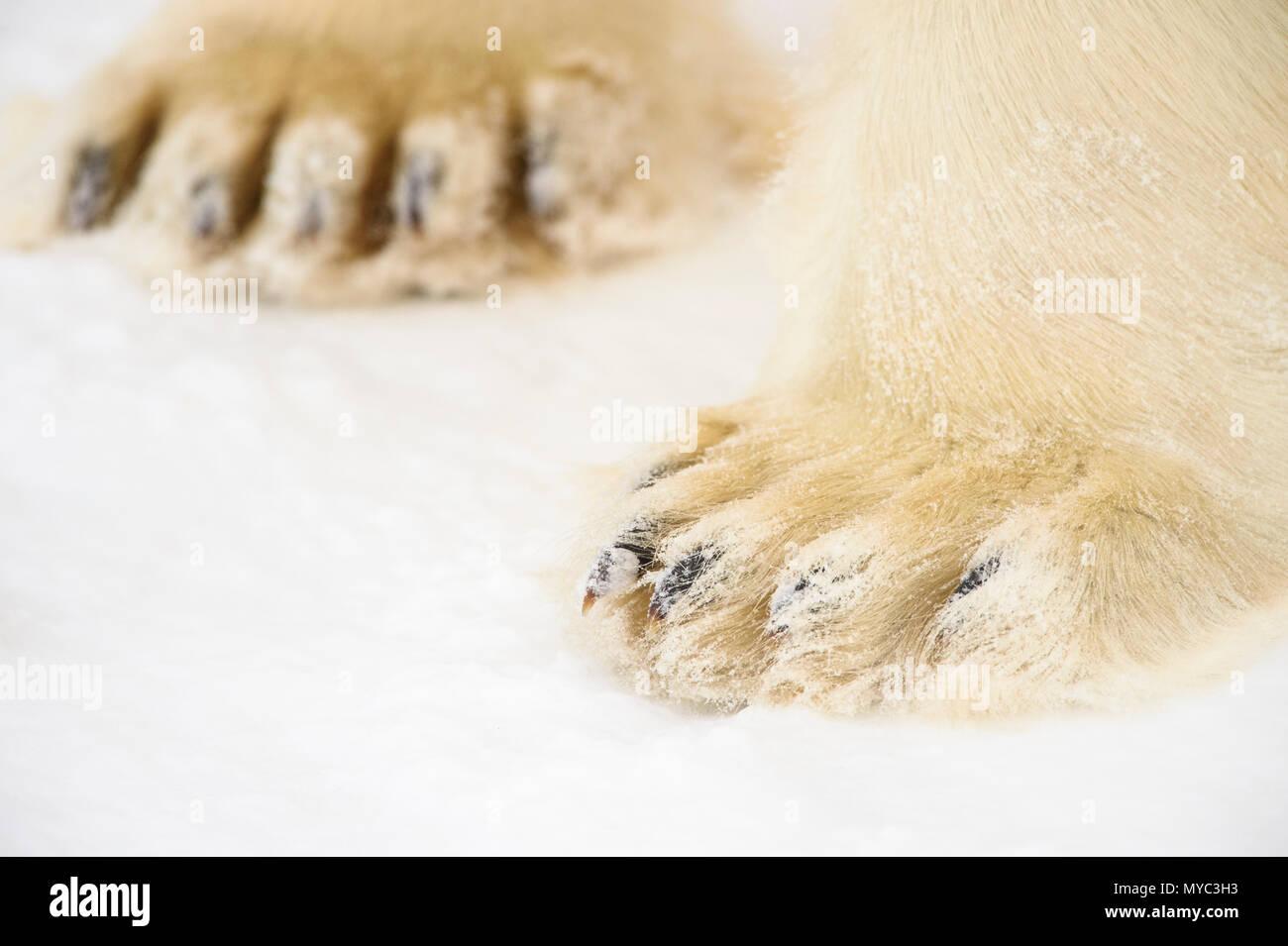 Polar Bear (Ursus maritimus) Legs and paws, Wapusk National Park, Cape Churchill, Manitoba, Canada Stock Photo