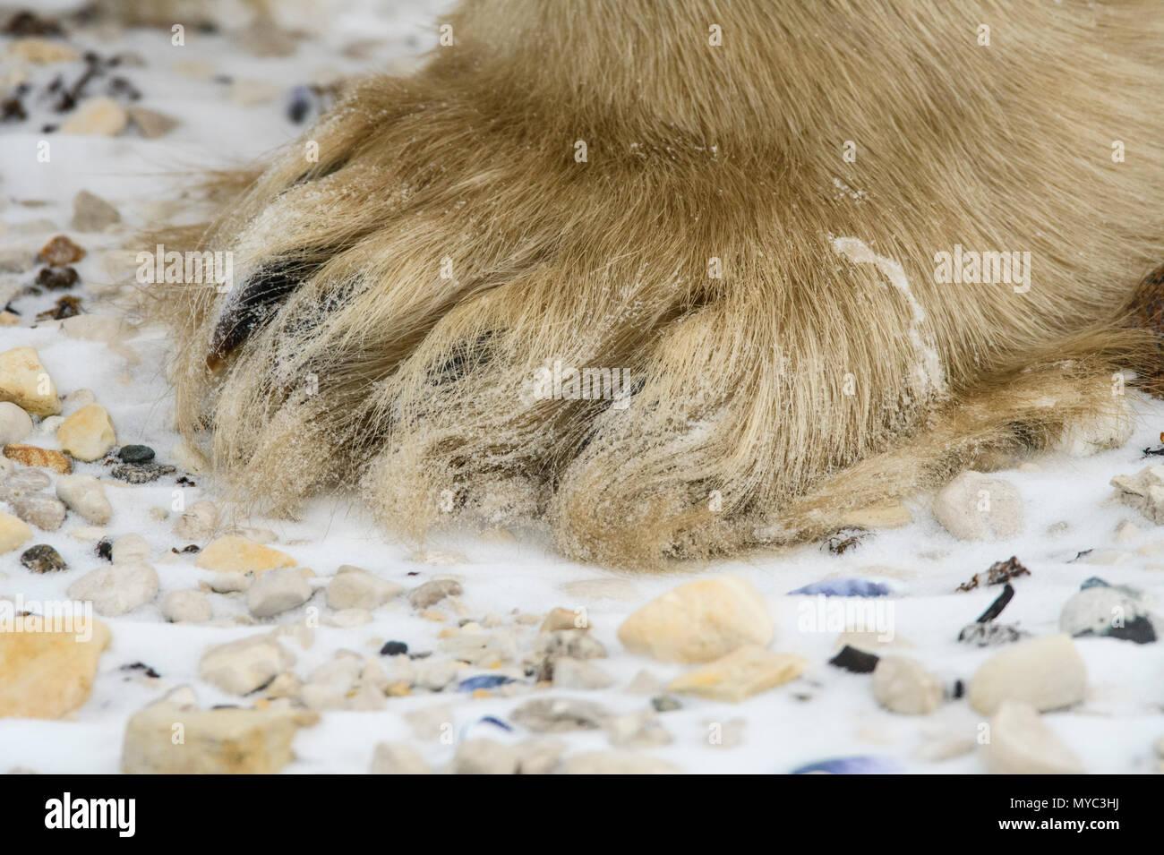 Polar Bear (Ursus maritimus) Legs and paws, Wapusk NP, Cape Churchill, Manitoba, Canada - Stock Image