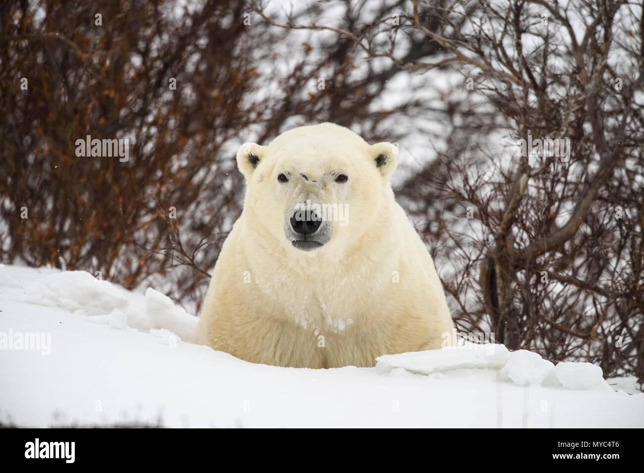 Polar Bear (Ursus maritimus) Curious individual approaching, Wapusk NP, Cape Churchill, Manitoba, Canada - Stock Image