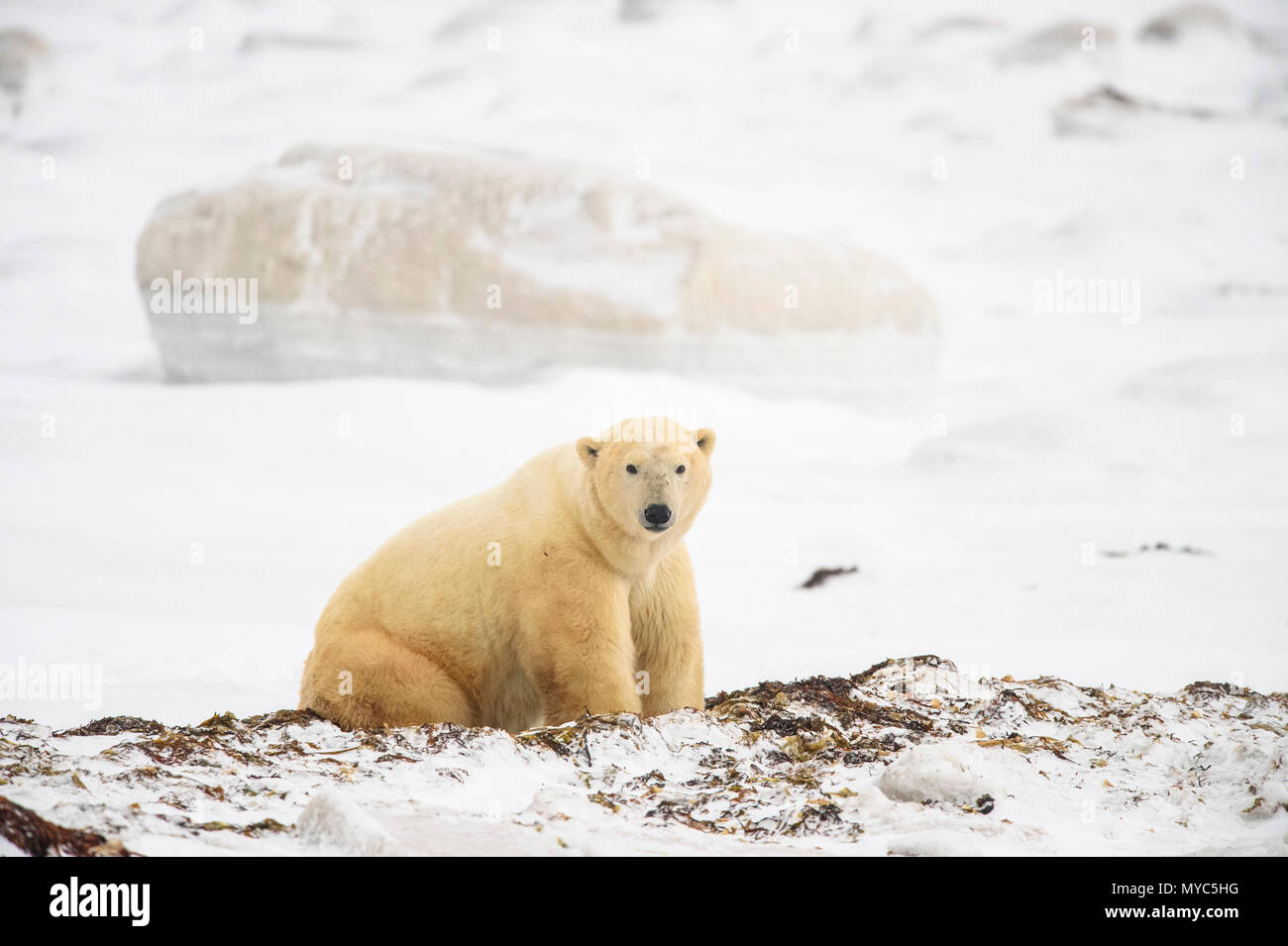 Polar Bear (Ursus maritimus) Excavating day bed in seaweed, Wapusk NP, Cape Churchill, Manitoba, Canada - Stock Image