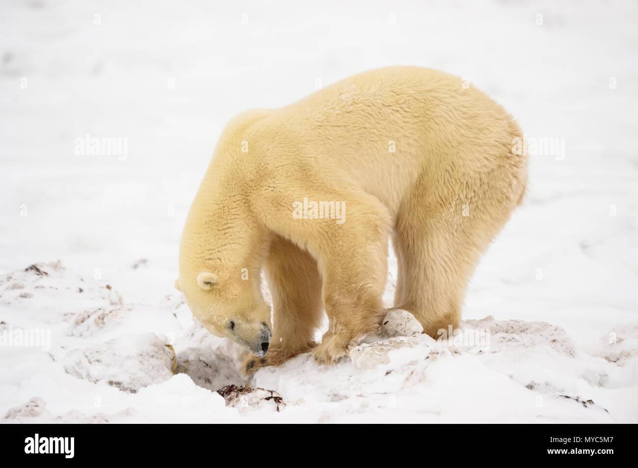 Polar Bear (Ursus maritimus) Excavating day bed in seaweed, Churchill Wildlife Management Area, Churchill, Manitoba, Canada - Stock Image