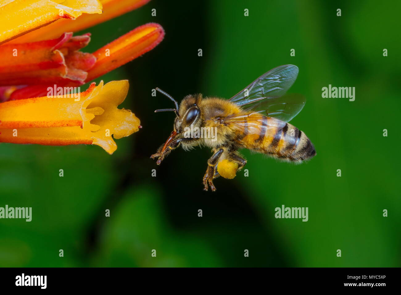 A honey bee, Apis mellifera, in flight with pollen sacks visible grazing on fire bush. - Stock Image