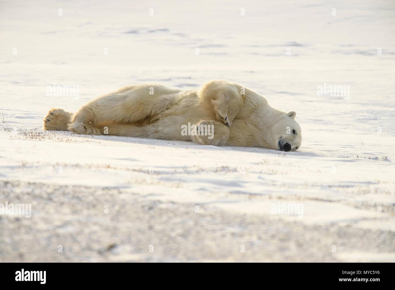Polar Bear (Ursus maritimus) Grooming behaviour, Wapusk NP, Cape Churchill, Manitoba, Canada - Stock Image