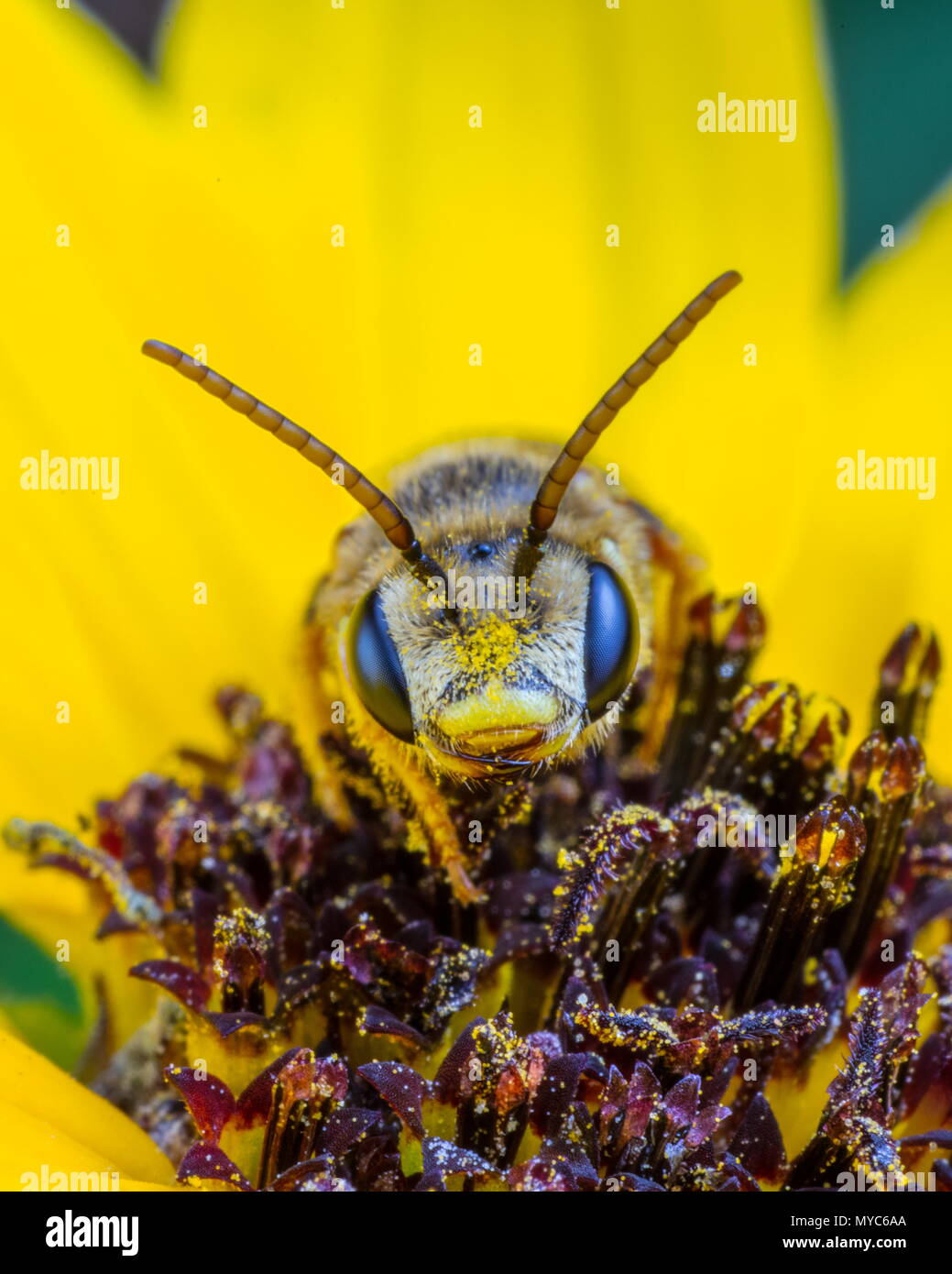 A sweat Bee, Halictus ligatus, on a yellow flower. - Stock Image