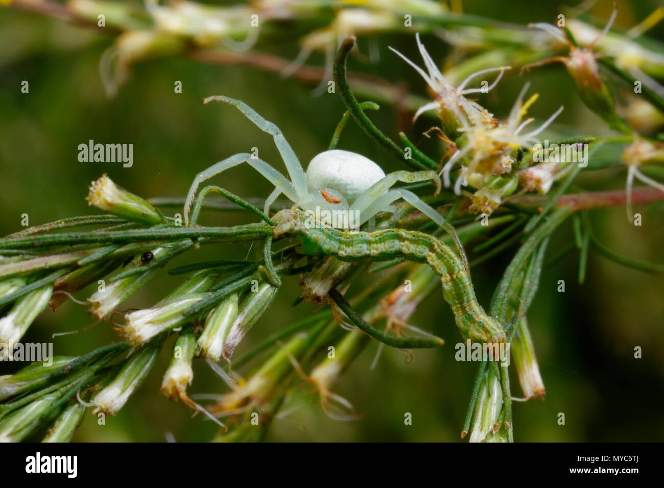 A crab spider, Family thomisidae, in its leafy lair, feeding on a caterpillar it has captured. - Stock Image